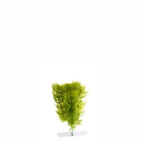 JK Akvarijná rastlina Anacharis 13-16 cm